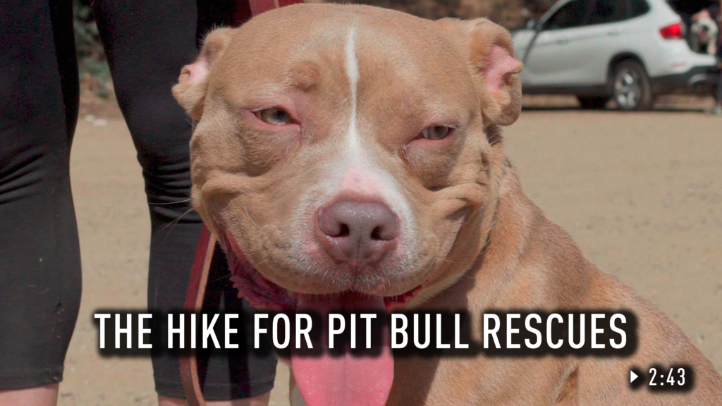A pit bull with its tongue out.
